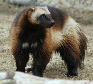 This is a real Wolverine! It does not have an adamantium skeleton.